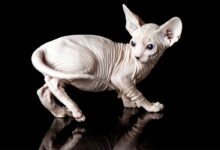 Photo of Sphynx cat –  Canadian Sphynx