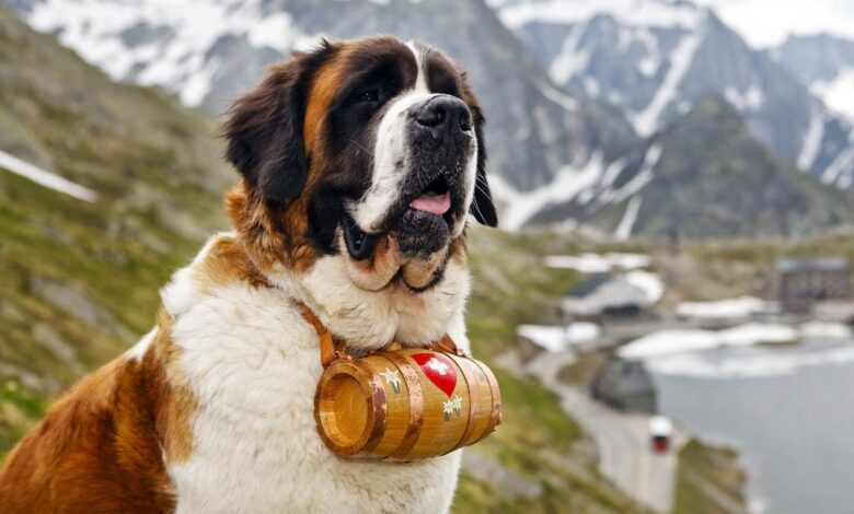 Photo of St. Bernard dog – a gentle giant