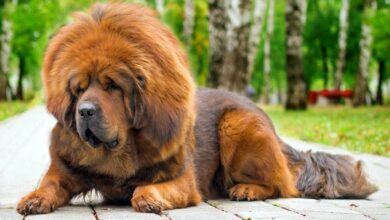 Photo of Tibetan Mastiff – the most expensive dog in the world
