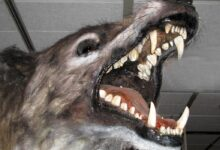Photo of Andrewsarchus – a mysterious giant