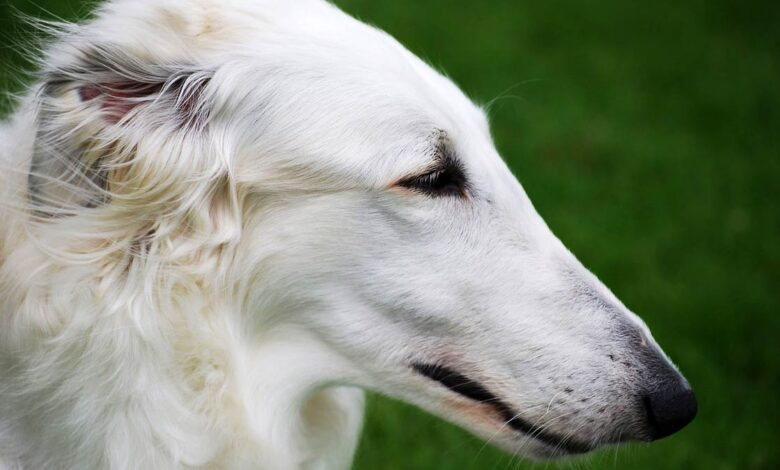 Photo of Borzoi – the dog of aristocrats