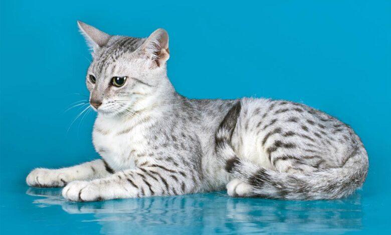 Photo of Egyptian Mau – the fastest domestic cat