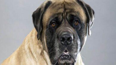 Photo of English Mastiff – one of the largest dogs