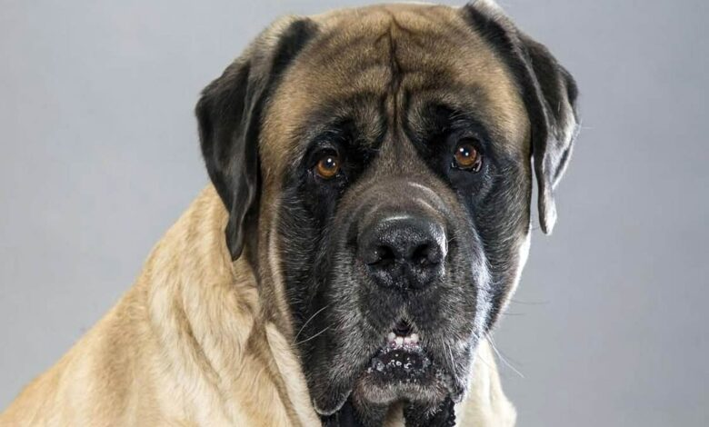 Photo of English Mastiff – one of the largest dogs