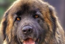 Photo of Leonberger – a loving giant