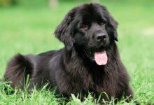 Photo of Newfoundland dog – gentle giant