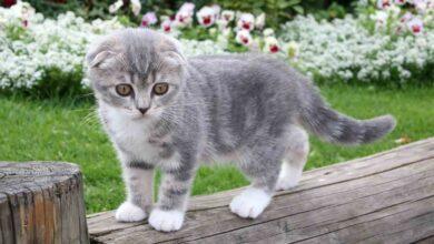 Photo of Scottish Fold cat