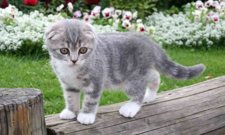 Photo of Scottish Fold cat