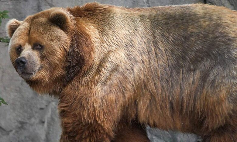 Photo of Short-faced bear – the largest bear of all time?