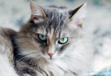 Photo of Siberian cat