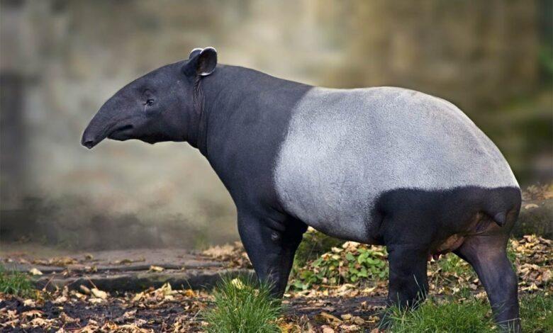 Photo of Tapir (Tapirus) – an eclectic animal