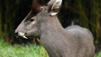 Photo of Tufted deer (Elaphodus cephalophus)