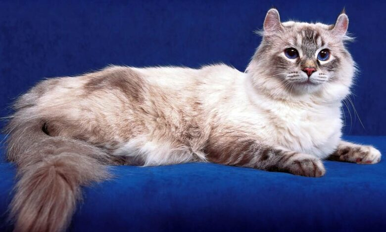 Photo of American Curl – cat with unusual ears